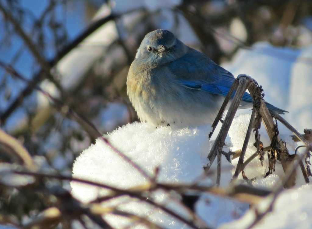 A mountain bluebird was observed during last year's annual Anchor Bay Area Christmas Bird Count. (Photo by Andrea Rose Meldrum)